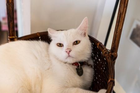 White cat going to sleep. 写真素材