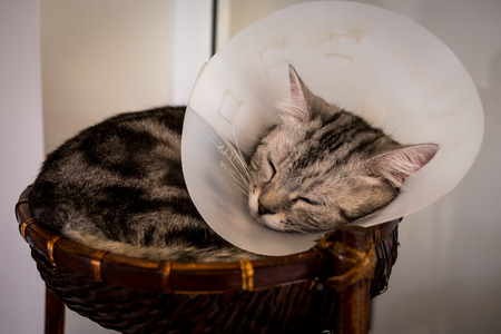 Cat with veterinary cone on its head, after surgery.