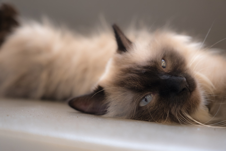 Soft background of long hair cat.