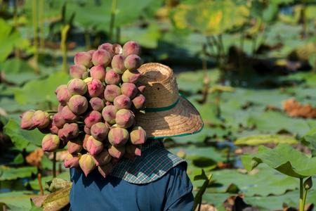 Farmer harvesting lotus in swamp for sale.