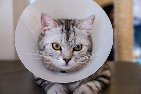 Cat with veterinairy cone on its head, after surgery. 写真素材