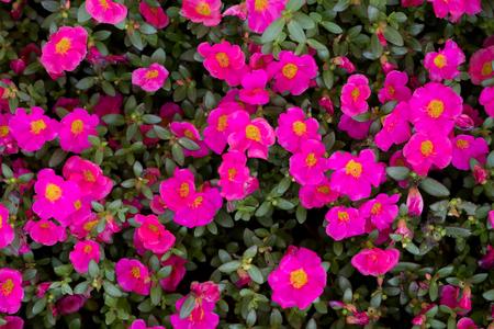 Sun plant flower is blooming in sunlight. 写真素材