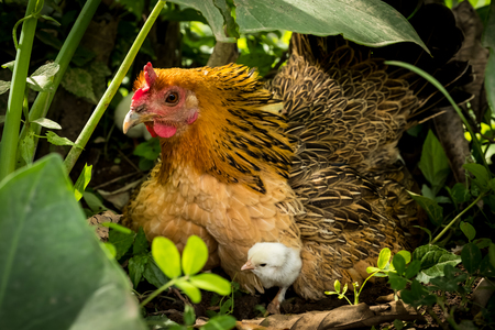 Hen protect her chickens in the bush.