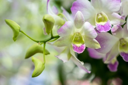 The beautiful orchid Dendrobium pompadour in southeast Asia.