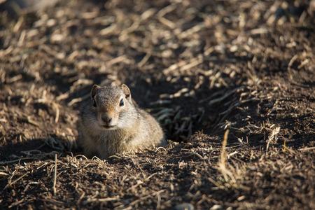 Ground Squirrel in Grand Teton photo