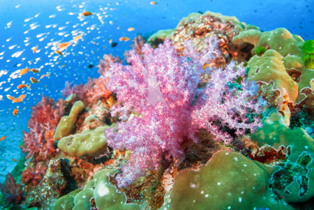 seafan: Colourful soft corals in North Andaman , Southern Thailand