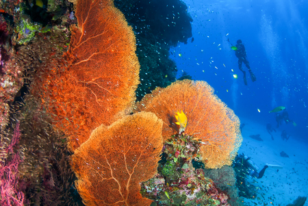 Beautiful Sea Fan in North Andaman, Thailand 스톡 콘텐츠