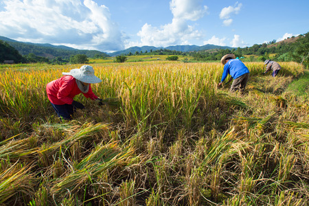 sharply: Chiang Mai, Thailand: Farmers harvest their crops sharply during the harvest season in the rice fields on terraced in north Thailand, Mae jam, Chiang Mai, Thailand. Stock Photo