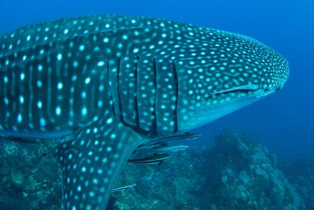 whale shark: Whale shark in Richelieu Rock, North Andaman, Thailand