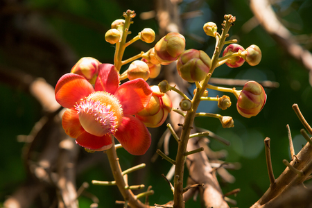 cannonball: flower of Cannonball tree in the garden