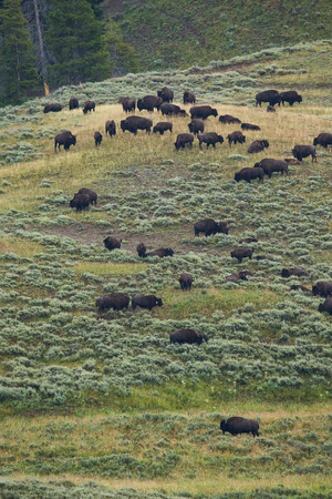 oklahoma: bison in grasslands of Yellowstone National Park in Wyoming in the United States of America