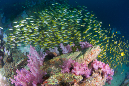 seafan: yellow snapper fish with beautiful soft coral in South Andaman, Krabi, Thailand