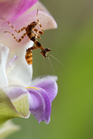 Praying mantis or orchid mantis in action on petal macro photography