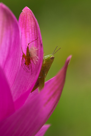 Green Grasshopper on pink petal macro photography