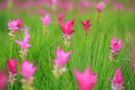 Beautiful wild siam tulips blooming in the jungle at Sai Thong National Park, Chaiyaphum province, Thailand 免版税图像 - 112336014