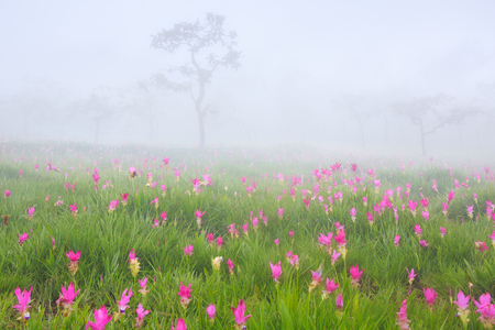 Beautiful wild siam tulips blooming in the jungle at Sai Thong National Park, Chaiyaphum province, Thailand