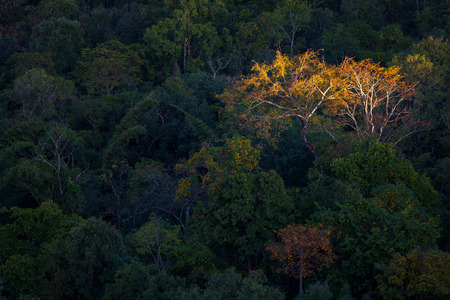 autumn tree in the forest with first light in Tak province, Thailand.