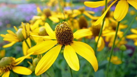 Rudbeckia laciniata Flower Stock Photo