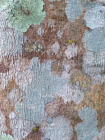 Bark Rubber Tree Texture