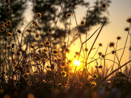 Grass Flower and Sunrise
