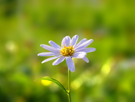 Daisy Flower on Blur Background