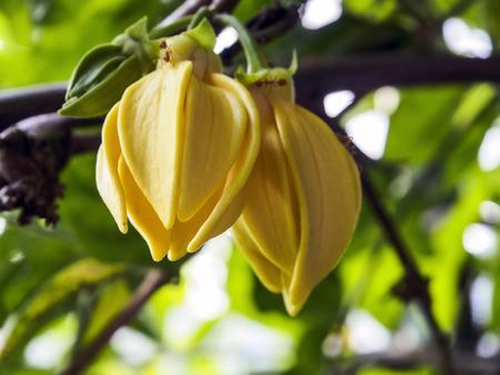 Ylang-Ylang Flowers on tree, Asian