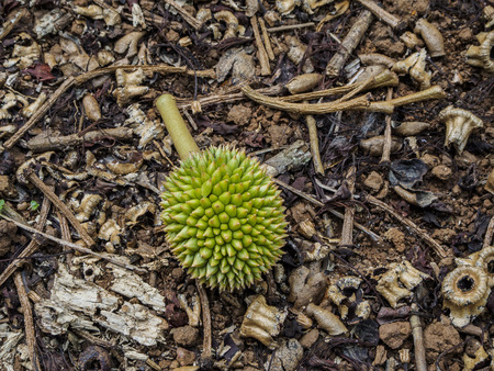 Small Durian on the Ground