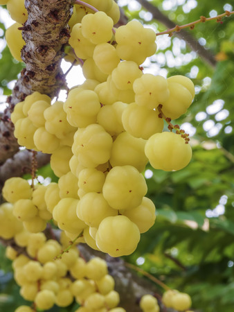 Otaheite Gooseberry, Thailand Stock Photo