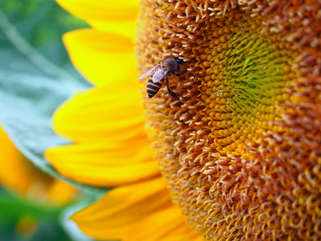 Close Up Honeybee on a Sunflower