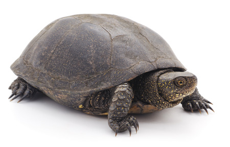 Large turtle isolated on a white background.