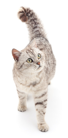 gray cat: Gray cat isolated on a white background.
