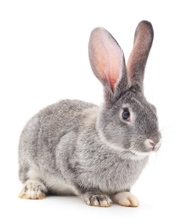 Gray rabbit isolated on a white background. Foto de archivo