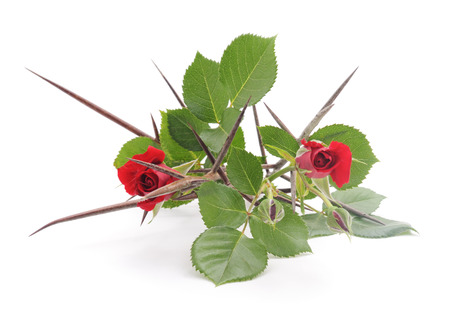 Red roses with thorns on a white background.