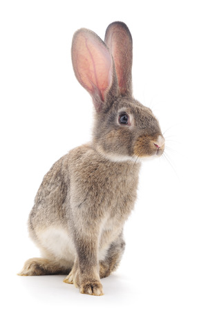 Brown rabbit isolated on a white background.
