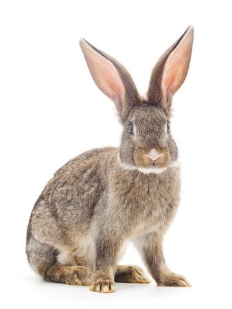 conejo: Conejo de Brown aislado en un fondo blanco.