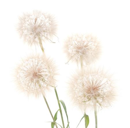 Large fluffy dandelion isolated on white background. Foto de archivo