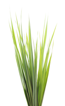 rushy: Bunch of green cane isolated on white background.