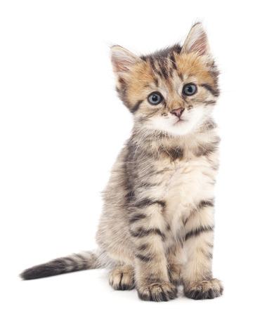 kitten: Gray kitten isolated on a white background.