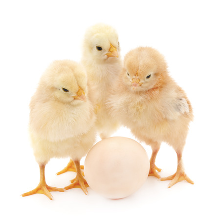 egg: Chickens with egg isolated on a white background. Stock Photo