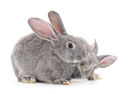 rabbit: Grey baby rabbits on a white background. Stock Photo
