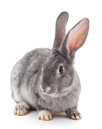 Grey baby rabbit on a white background.