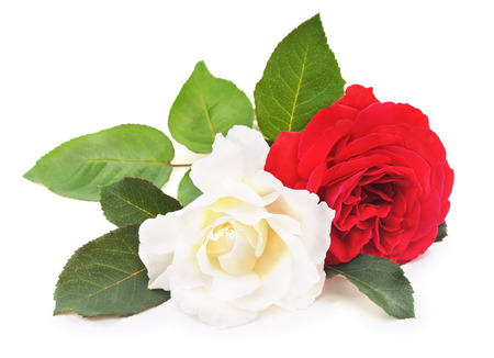 White and red roses on a white background.