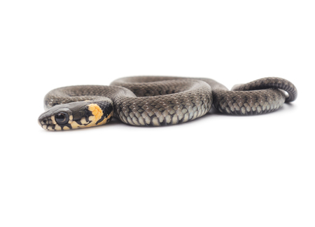 small reptiles: Little snake isolated on a white background.