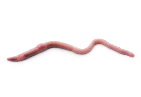 Hermaphrodite: Pink worm isolated on a white background.