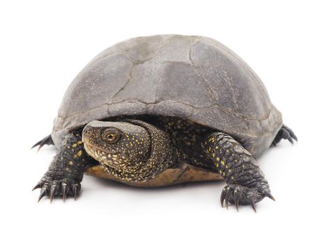 large turtle: Large turtle isolated on a white background.