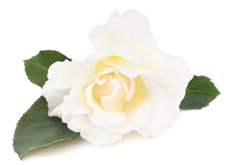 White rose isolated on a white background.