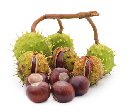 trees with thorns: Branch with chestnuts isolated on a white background. Stock Photo