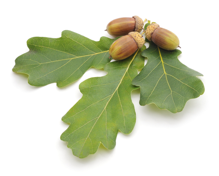 acorn: Acorns and leaves isolated on a white background.