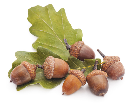 Acorns and leaves isolated on a white background.