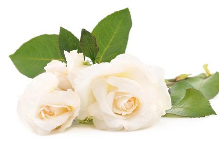 rosas blancas: Dos rosas de color blanco sobre un fondo blanco. Foto de archivo